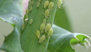 8 bước đơn giản diệt trừ rệp hại rau một cách nhanh chóng