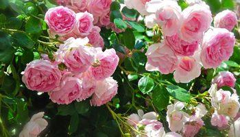 Lý do đặc biệt để nhà bạn nên có 1 chậu hoa hồng Nhật