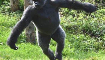 Cao khỉ là gì