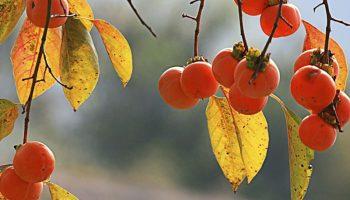 10 lợi ích chữa bệnh tuyệt vời của quả hồng mùa thu