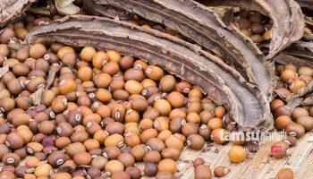 Hạt đậu rồng – khắc tinh chữa dứt điểm bệnh đau dạ dày chỉ trong 2 tuần