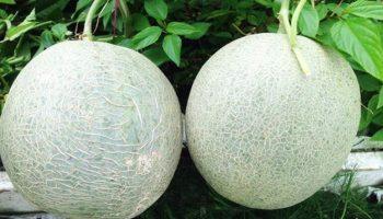 Học lỏm cách trồng dưa lưới trên sân thượng trảm mỏi tay không hết quả