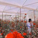 Ngắm mãi không chán vườn hồng 700m2 đẹp rực rỡ giữa Thành phố Thái Nguyên