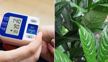 Bệnh cao huyết áp và nguyên lý chữa bệnh từ lá xương sông