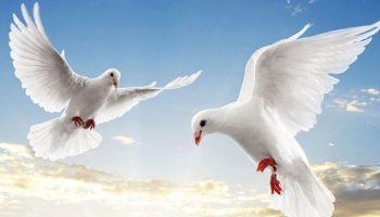 Giải đoán giấc mơ thấy chim bồ câu
