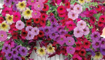 Học cách trồng và chăm hoa dạ yến thảo của bà mẹ hai con vừa đảm vừa xinh