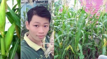 Học hỏi kinh nghiệm trồng ngô chi chít bắp trên sân thượng 10m2