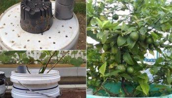 Hướng dẫn trồng chanh trong thùng sơn theo kiểu earthbox