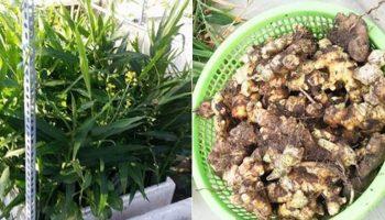 Kinh nghiệm trồng 4 củ gừng trong thùng xốp thu 7kg củ của mẹ trẻ đảm đang