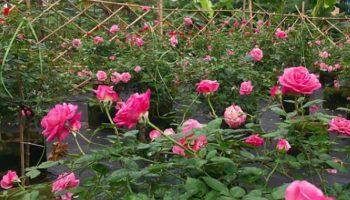 Lý do đặc biệt để vườn nhà bạn nên có ít nhất một chậu hoa hồng Nhật