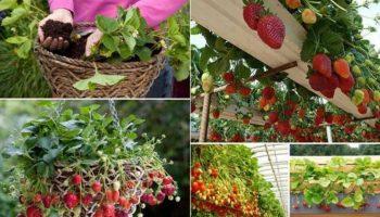 Những cách trồng dâu tây siêu hiệu quả trong khoảng diện tích hạn chế