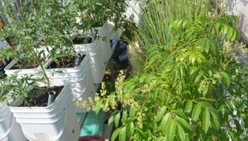 Tận dụng thùng bơ làm Earthbox trồng rau tốt mơn mởn trên sân thượng